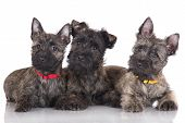 adorable cairn terrier puppies