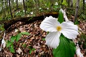 Trillium Right Side
