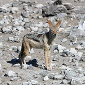 foto of jackal  - Black - JPG