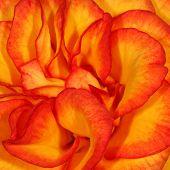 Orange Rose Petals...