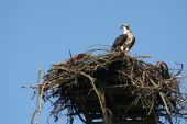 Osprey In Nest, Pandion Haliaetus.
