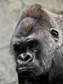 Gorilla Portrait