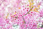 Pink Flower Sakura Of Thailand