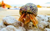 foto of hermit  - hermit crab is climing over a coral rock - JPG