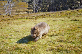 image of wombat  - Wombat crossing grasslands in the Cradle Mountain Lake St Clair National Park in Tasmania Australia - JPG
