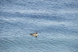 picture of loon  - Red Throated Loon swimming on the Loch at Ardmair Scottish Highlands - JPG