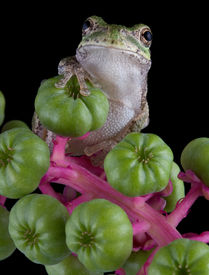 image of pokeweed  - A baby gray tree frog is perched on some pokeweed - JPG