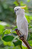 foto of cockatoos  - Beautiful white Cockatoo Sulphur - JPG