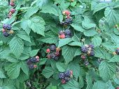 Growing Bush Of A Raspberry