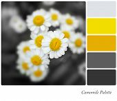 A closeup of camomile flowers with selective colouring, in a colour palette with complimentary colou