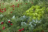 foto of romaine lettuce  - Red poppy flowers and romaine lettuces in natural green field - JPG