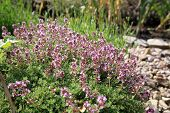 Breckland thyme