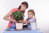 Mom And Daughter Flower Transplanted From Pot To Other