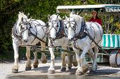 Three work horses pulling a carriage on Mackinac Island