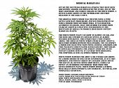 Medical Marijuana plant in a black plastic 1 gallon grow pot, isolated on white with room for your t