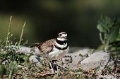 foto of killdeer  - Killdeer with extreme shallow depth of field - JPG