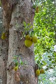 "pic of royal botanic gardens  - fruits on a tree in the botanical Garden of Peradeniya Kandy""Royal Botanical Gardens asias most beautiful botanical Garden