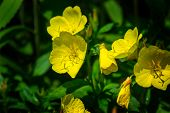 picture of taper  - Common Cinquefoil is a larger plant that can be distinguished by its leaflets - JPG