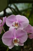 image of royal botanic gardens  - Orchis flower in the botanical Garden of Peradeniya Kandy - JPG