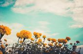 picture of marigold  - Marigolds or Tagetes erecta flower in the nature or garden vintage - JPG