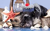young schnauzer  in hat sailor
