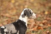 stock photo of catahoula  - Adorable Louisiana Catahoula puppy looking in autumn - JPG