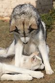 pic of malamute  - Alaskan malamute parent playing with puppy on the garden - JPG