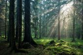 Sunlight Of Sunset Entering Spruce Forest
