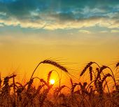 field with harvest at sunset