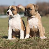 Two Nice Little Puppies Of American Staffordshire Terrier Together