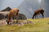 picture of lamas  - Lamas in Bolivian altiplano - JPG