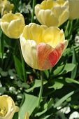 Yellow tulip with a pink petal