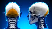 Female Occipital Bone Skull Anatomy - Blue Concept