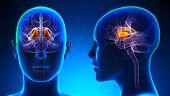 Female Thalamus Brain Anatomy - Blue Concept