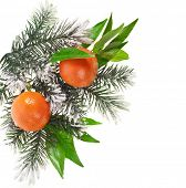 orange tangerine fruits with fir twig isolated on a white background