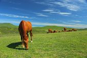 beautiful  horses on green mountain pasture