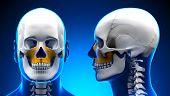 Male Maxilla Bone Skull Anatomy - Blue Concept