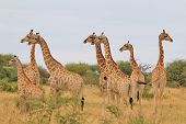Giraffe - African Wildlife Background - Funny Nature