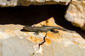 Lizard Enjoying Sunny On A Rock