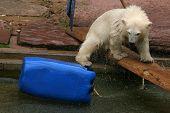 Polar bear cub (Ursus maritimus).