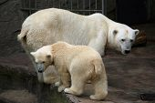 foto of mums  - Polar bear cub  - JPG