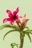 picture of desert-rose  - Desert Rose Red And White on Green Background - JPG