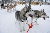 foto of laplander  - Sled dog eager to run in Kakslauttanen - JPG