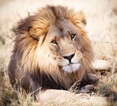 large lion lying in grass