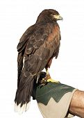 Golden Eagle Isolated On Glove