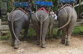 Elephants in the Khao Lak Park, Thailand. Back view