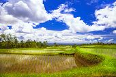 pictorial rice fields in Bali
