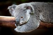 Koala Bear Holding On To A Branch With Black Background