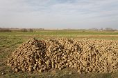 stock photo of root-crops  - Sugar Beet Beta vulgaris crop heap harvested roots - JPG
