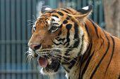 Bengal tiger (Panthera tigris tigris).